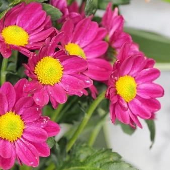 ピンクの菊の花